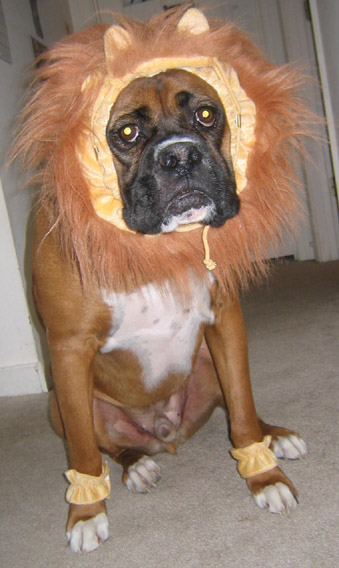 Boxer Dog Photo Gallery u0026 Postcard - Lion costume. : boxer dogs in costumes  - Germanpascual.Com
